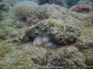 Full view of a Spotted Scorpionfish well camouflaged with... by Carlos Rodriguez 